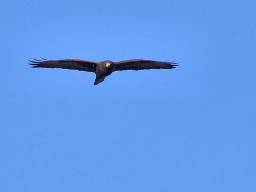 Short-tailed Hawk 08-20161231