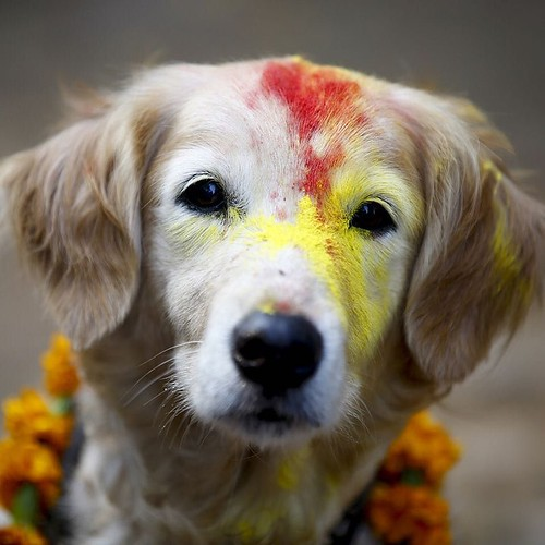 The Tihar festival, which is considered one of the most important #Hindu festivals, has begun in #Nepal. Each day is devoted to a different animal or object of worship. Here they celebrate man's best friend. Click the link in our profile for more on this