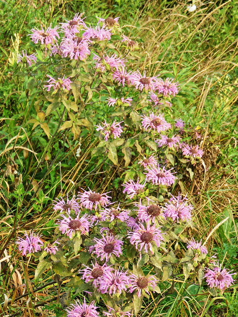New England Asters 20150831