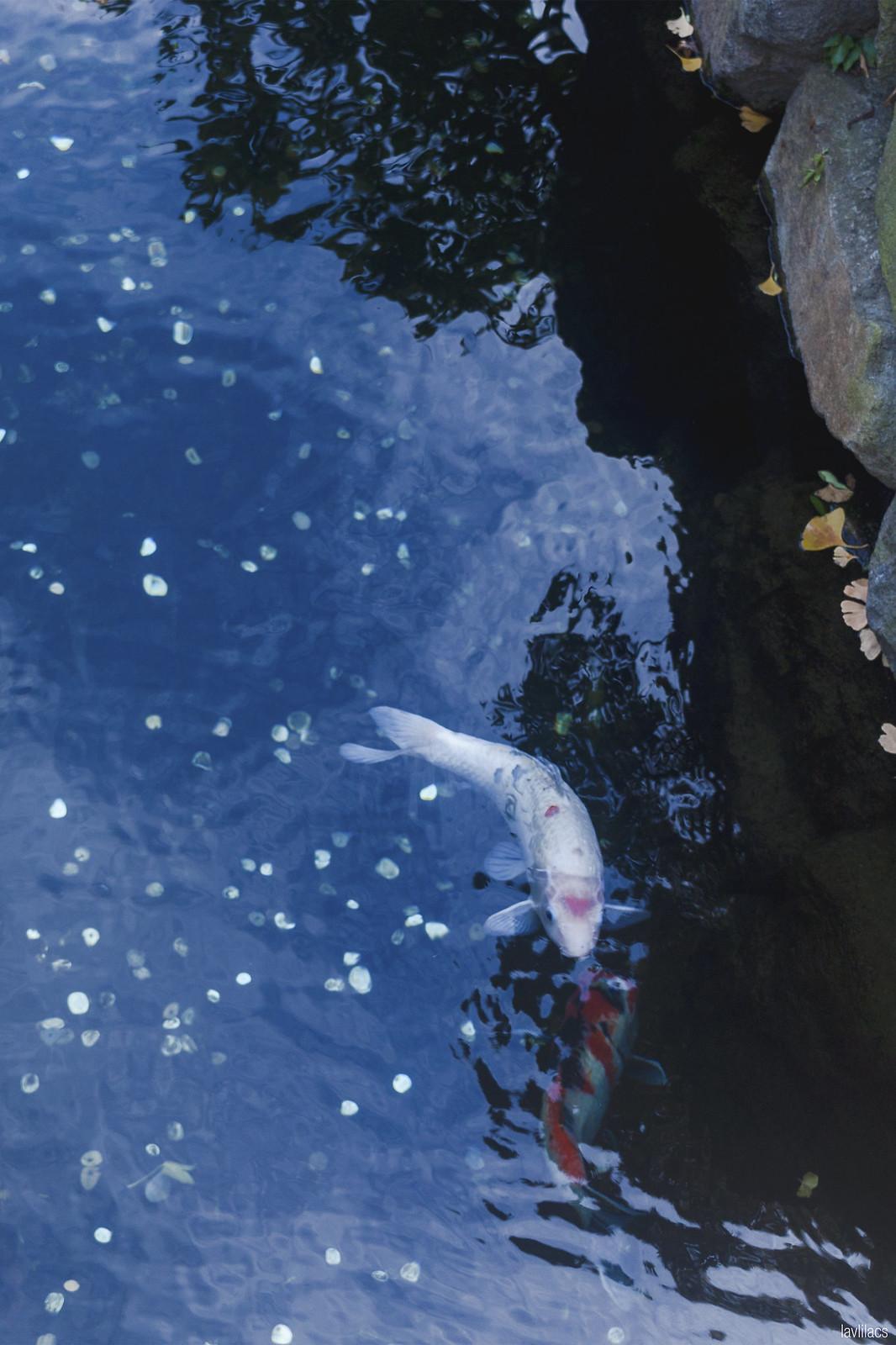 lavlilacs Japan Tokyo Asakusa Sensoji koi pond
