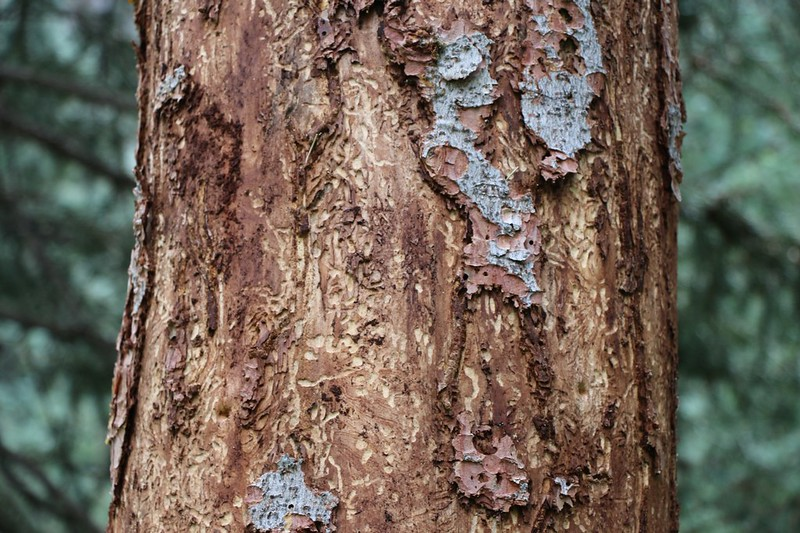 Pine Bark Beetle Damage - the higher we climbed the more damage we saw