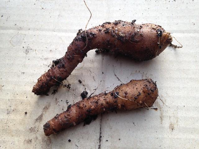 Tendrils: Madeira Vine roots (Anredera cordifolia)