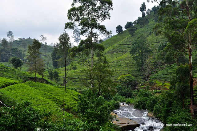 Mackwoods Tea Plantation Nuwara Eliya