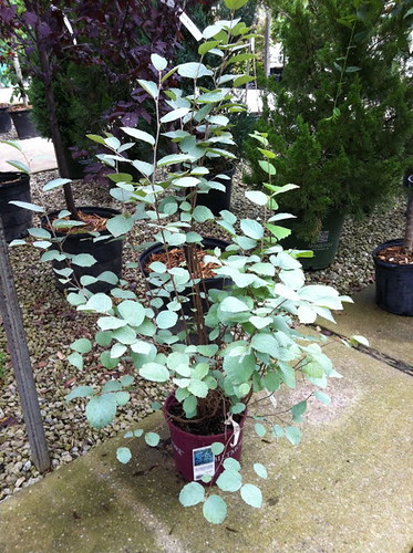 fothergilla_blue_shadow