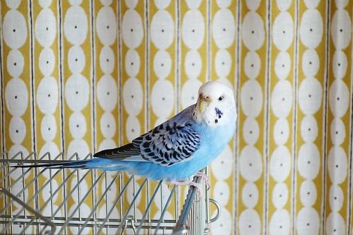 """Budgerigar_Ico_(2016_12_20)_3_resized_1 セキセイインコの女の子である """"イコ"""" ちゃんを撮影した写真。 綺麗な青い色をしている。 鳥籠の上に乗り、体は右を向いた状態で顔は後ろを振り向いている。"""