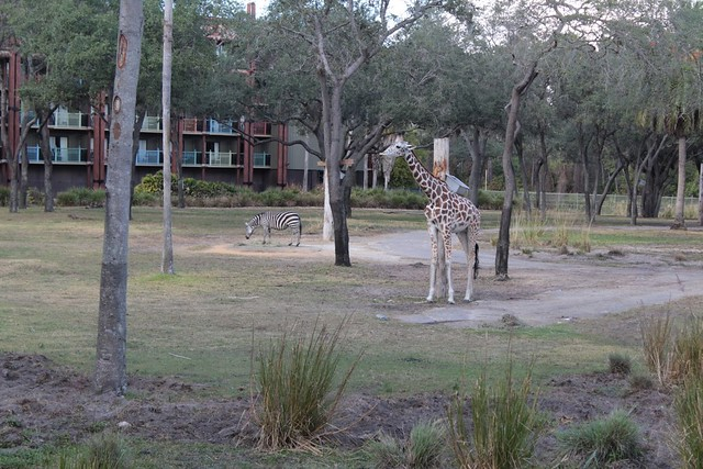 Giraffee and Zebra
