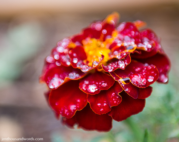 Marigold after the rain 2