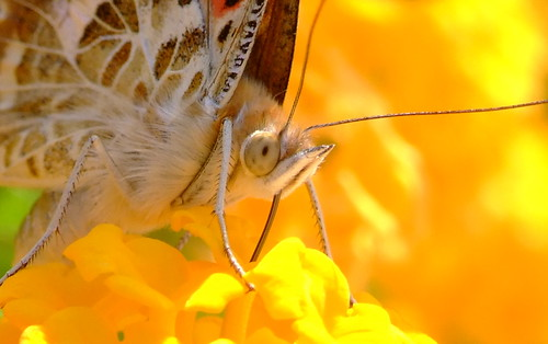Red and Orange Butterfly on a yellow flower - France - July 2006 | by Gaetan Lee