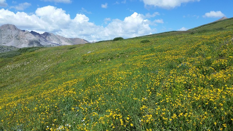 High meadow wildflowers on the trail near Rock Pass