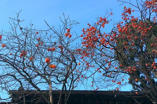 lavlilacs Korea Seoul Bukchon Village persimmon tree