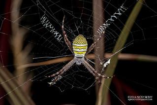 Cross orb weaver (Argiope aemula) - DSC_6865