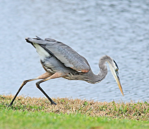 Great Blue Heron backyard 02-20161210