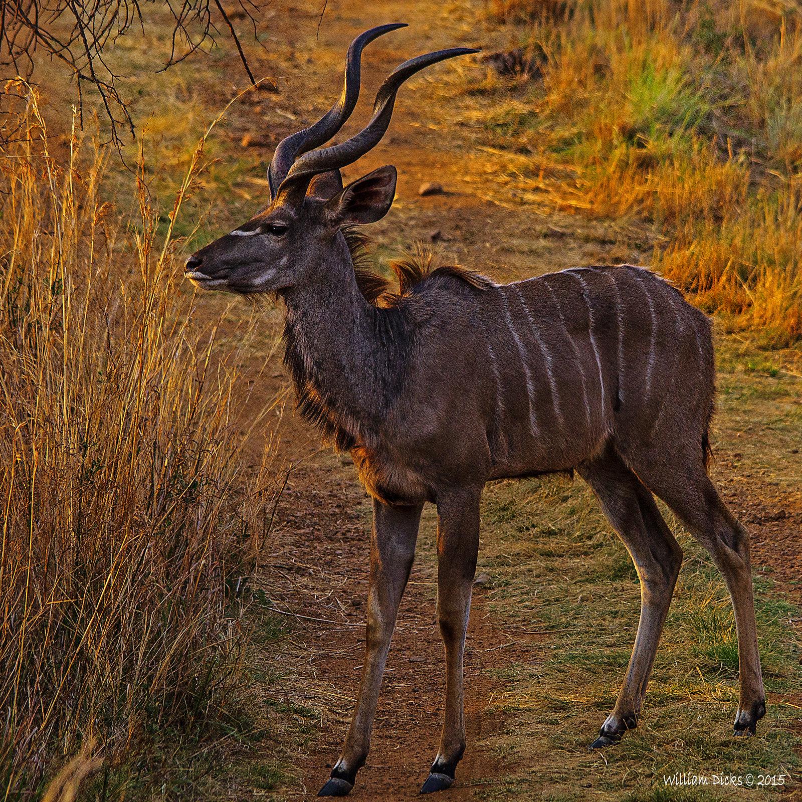 Indecisive kudu
