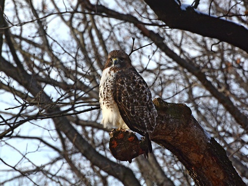 Riverside Red-Tail - 0997