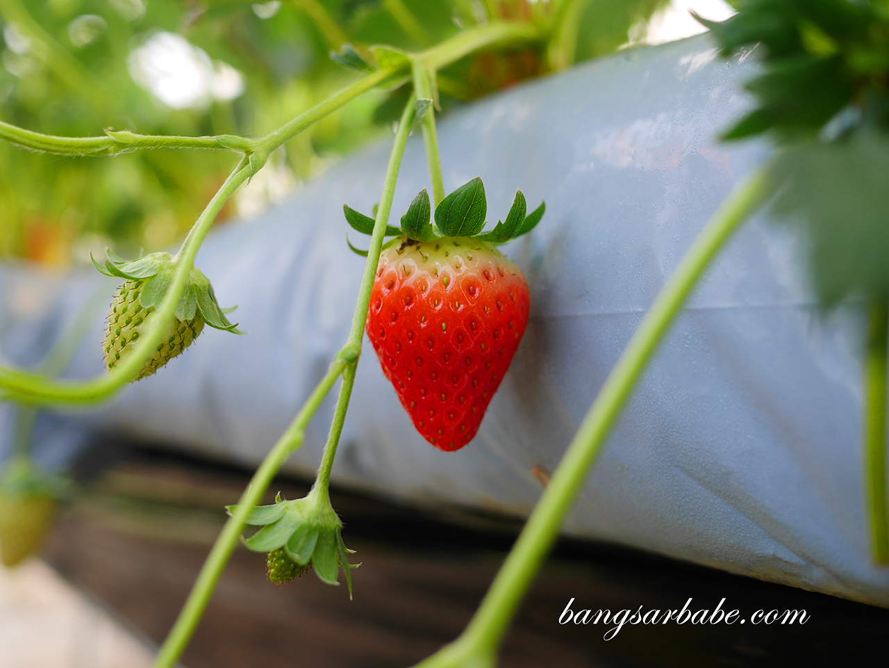 Strawberry at Ichigo Farm