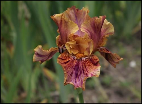 Iris Crimson Tiger (4)
