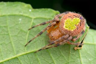 Orb weaver spider (Eriophora sp.) - ESC_0034