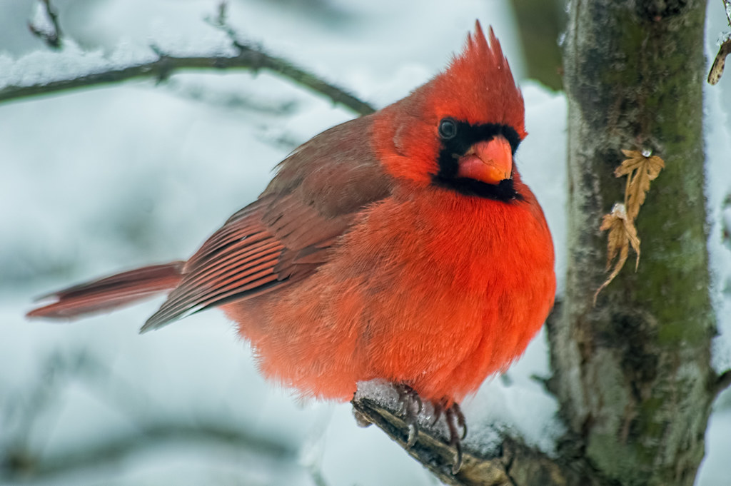 By my window (Northern cardinal)