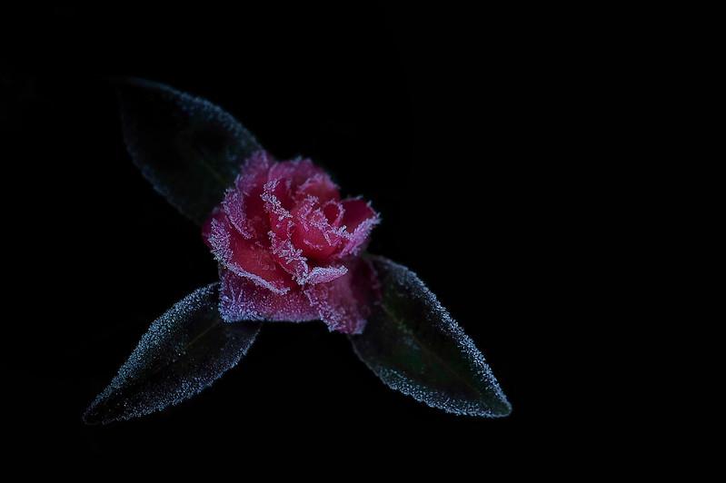 frozen camellia