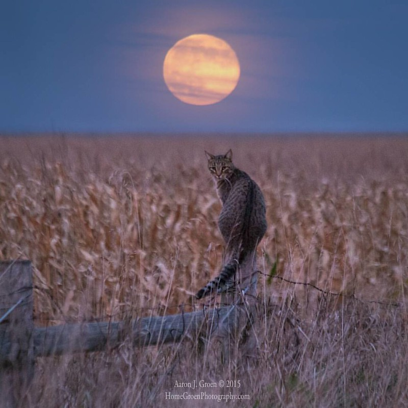 """Moon Kitty"" by Aaron J. Groen @HomeGroenPhotography Full Moon rises behind this feral cat in rural South Dakota.  www.HomeGroenPhotography.com #Cat #Moon #HifromSD #fullmoon #supermoon #moonrise #SouthDakota #bubbles"