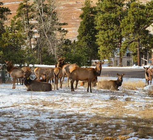 Herd of elk?