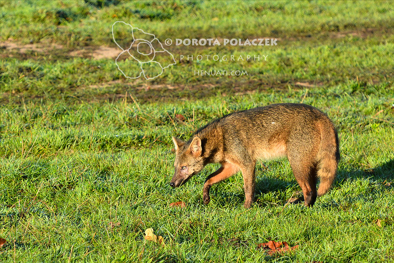 Crab-eating fox (Cerdocyon thous)