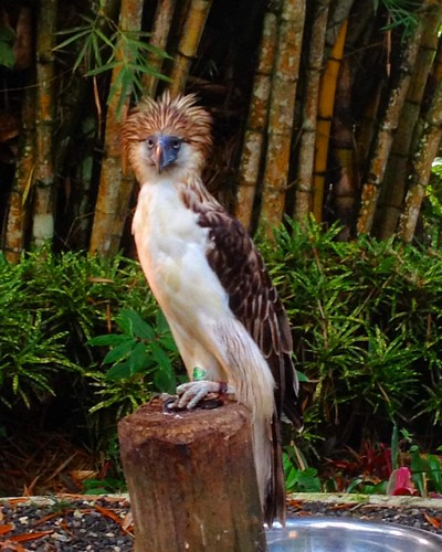 Good Morning Philippine Eagle. doing a docu for #DENR #Davao #Paradise #Philippines #Eagle #nature #protectedareas