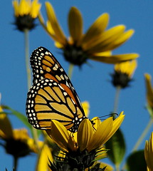 Sunny Monarch | by vtpeacenik
