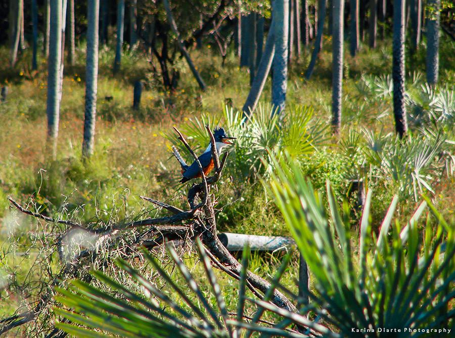 Martín Pescador Grande / Ringed Kingfisher