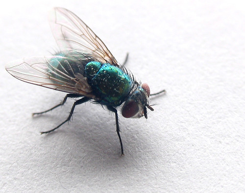 Green Bottle Fly | by jpctalbot