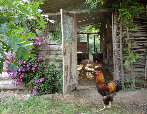 George the Brahma cockerel in front of the chicken shed | by hardworkinghippy