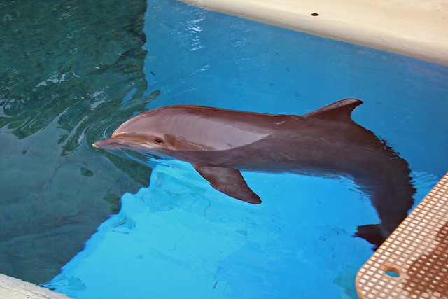 Dolphins at Siegfried and Roy. Image: mulf, CC. Las Vegas with kids.