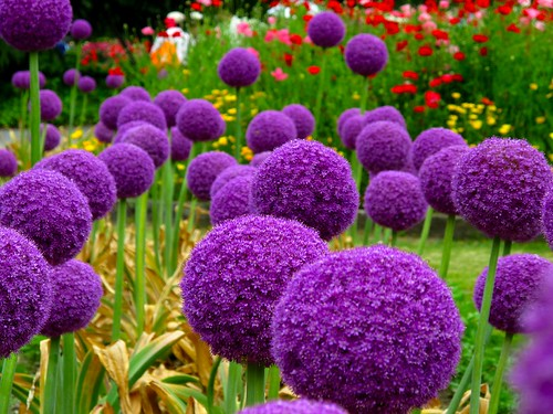 Purple Spheres: Allium Giganteum | by akirat2011