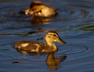 I Love Baby Ducks Fresh as the Morning Dew | by Fort Photo