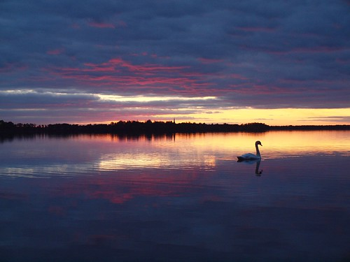 Mr. Tolgus (mute swan) and sunset | by Axiraa - back soon