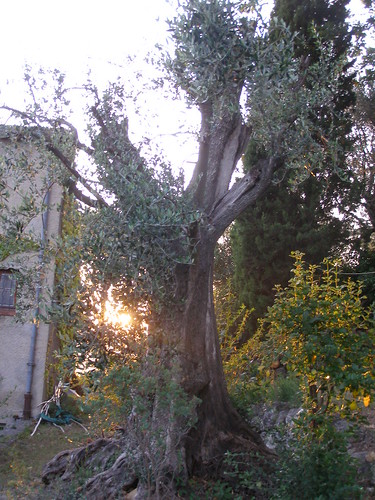 20070622 - Friday Olive Tree Blogging | by dirtydingus