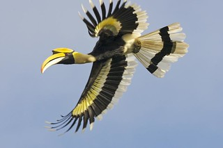 Great Hornbill (Buceros bicornis) | by Lip Kee