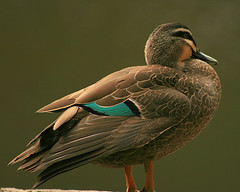 Pacific Black Duck | by Bugalugsrox