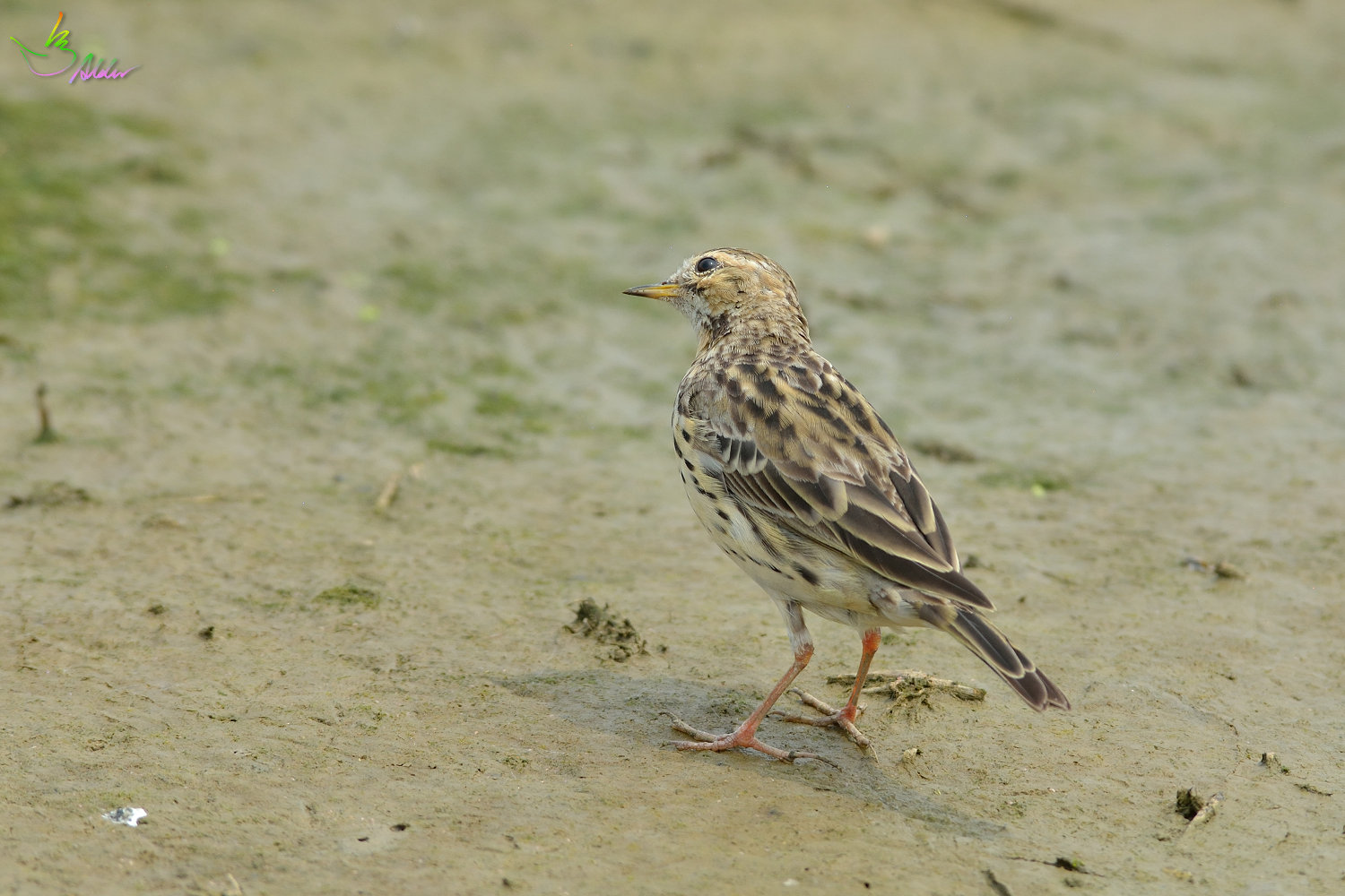 Red-throated_Pipit_3670