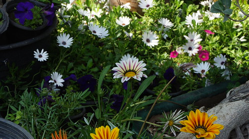Different kinds of colored daisies