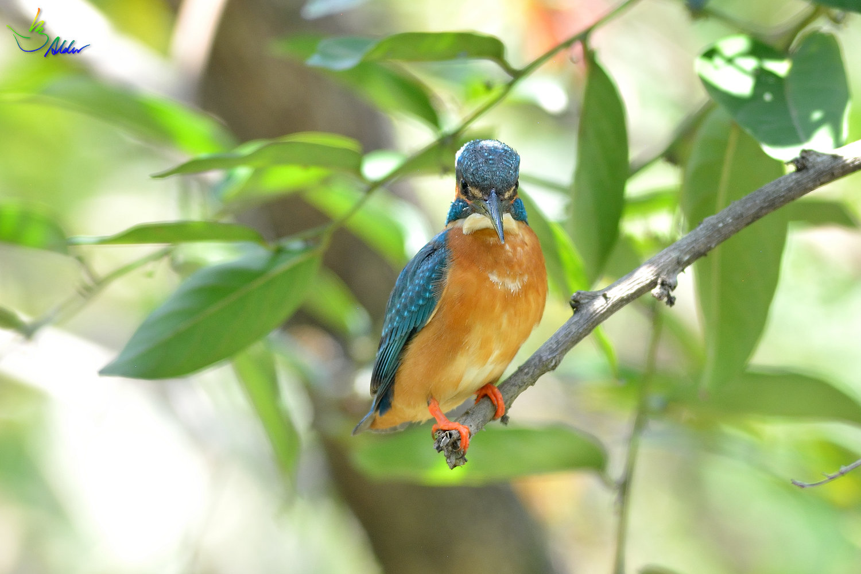 Common_Kingfisher_2752