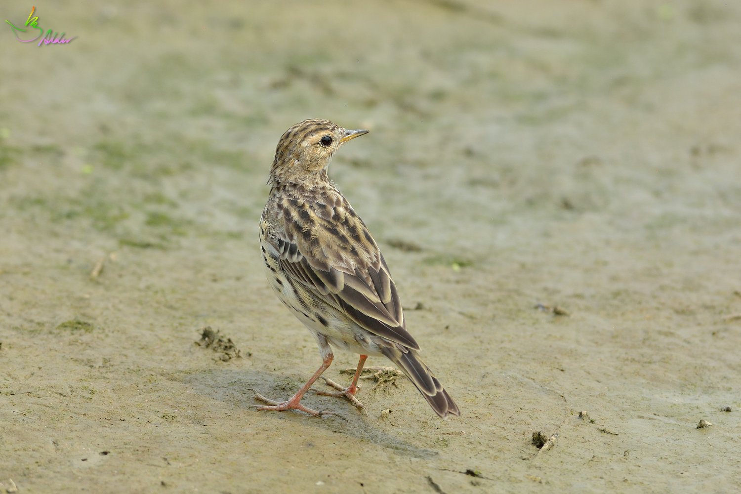 Red-throated_Pipit_3665