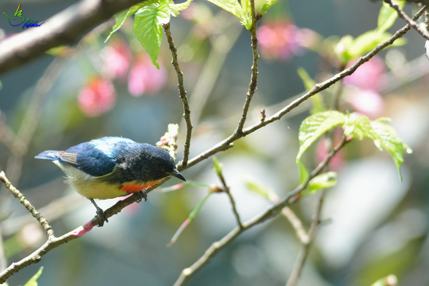 Fire-breasted_Flowerpecker_1433