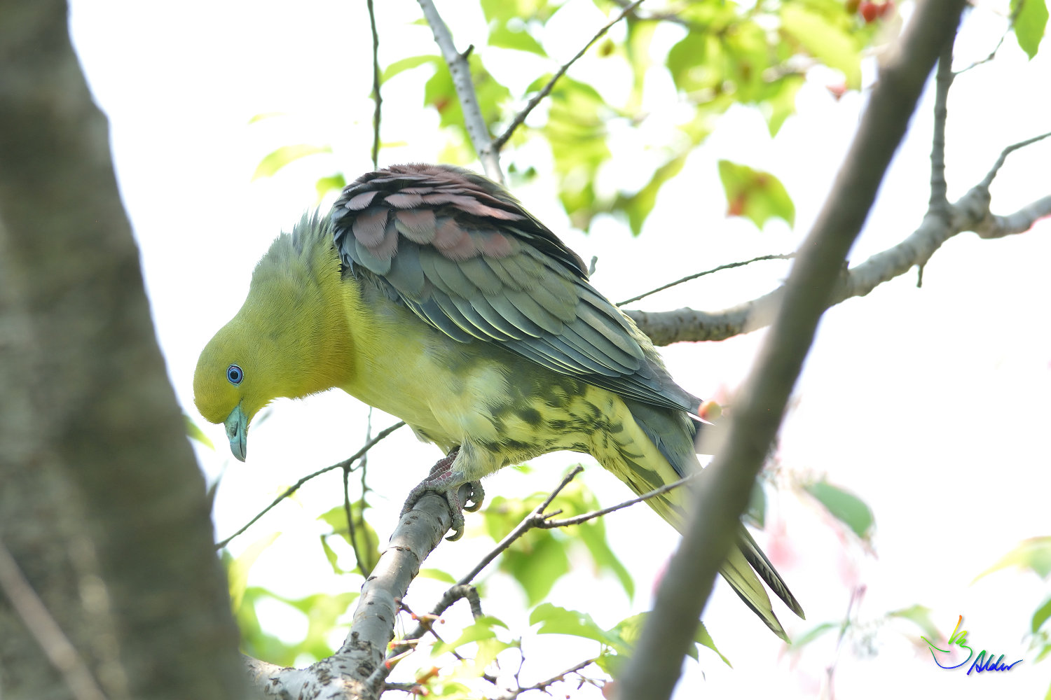 White-bellied_Green_Pigeon_5766