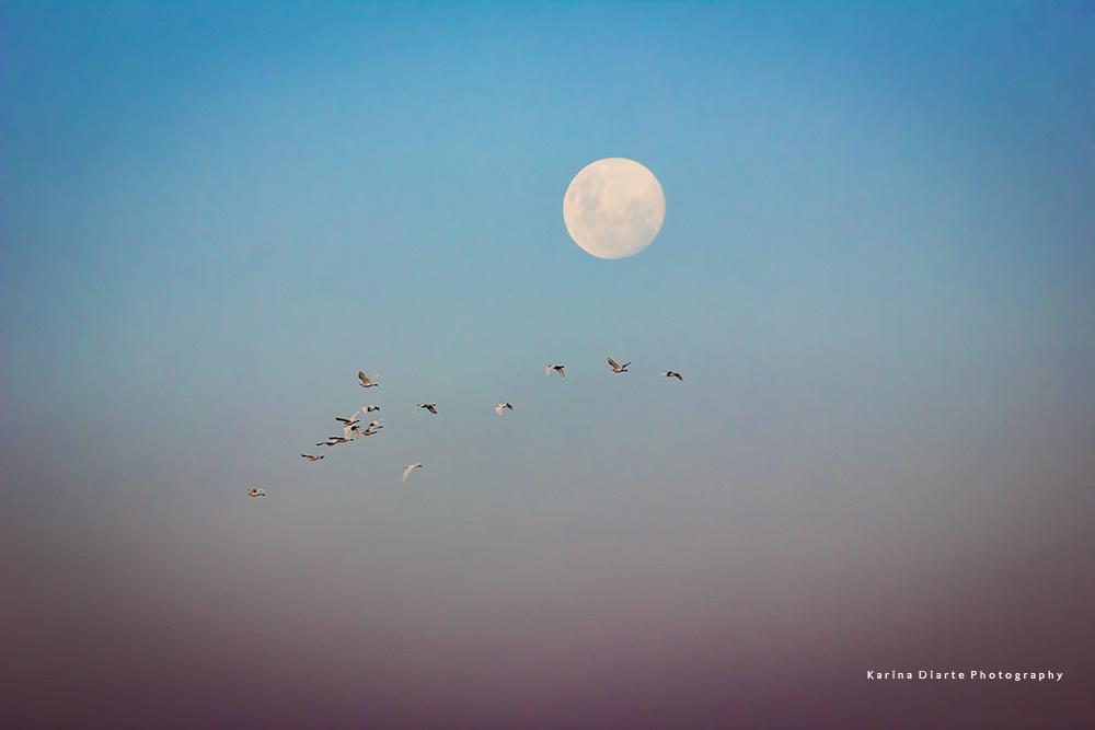 Cattle Egret / Garcita bueyera