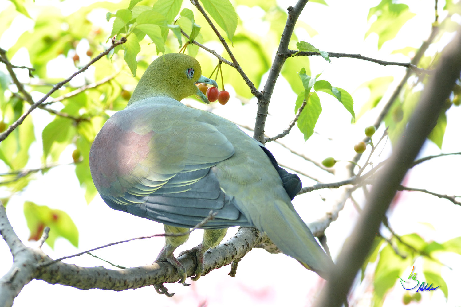 White-bellied_Green_Pigeon_5601