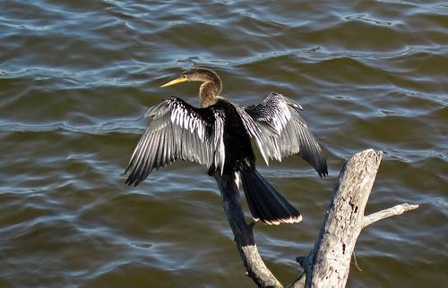 Anhinga (Sanibel Island, Florida, USA)