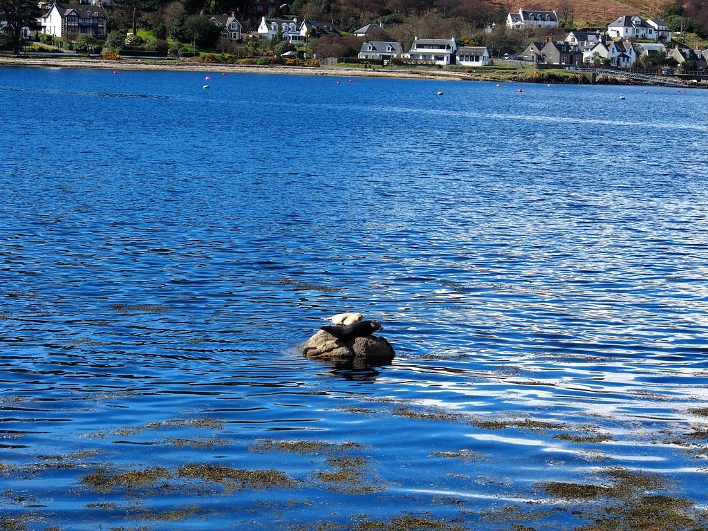 Basking Seal at Lochranza, Arran, Scotland.