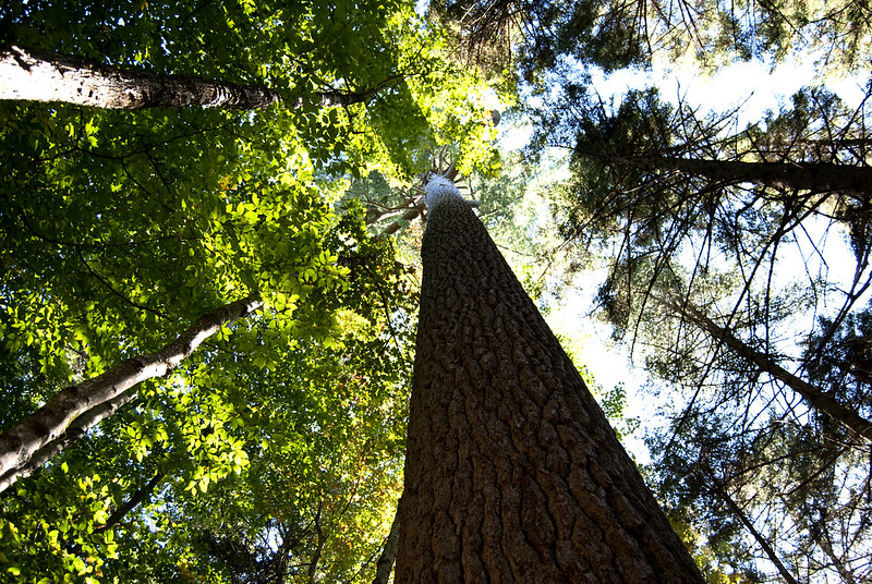 big pine - adirondacks