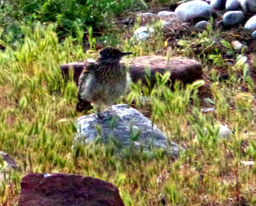 Roadrunner in yard 041916